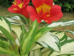 Alstroemeria Rock 'N' Roll