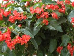 Begonia série 'Dragon Wing'