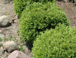 Buxus 'Green Gem'