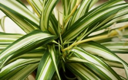 Chlorophytum Green Edge