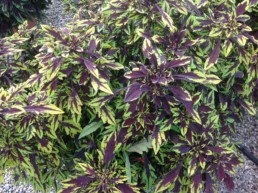 Coleus Flamethrower chipotleba
