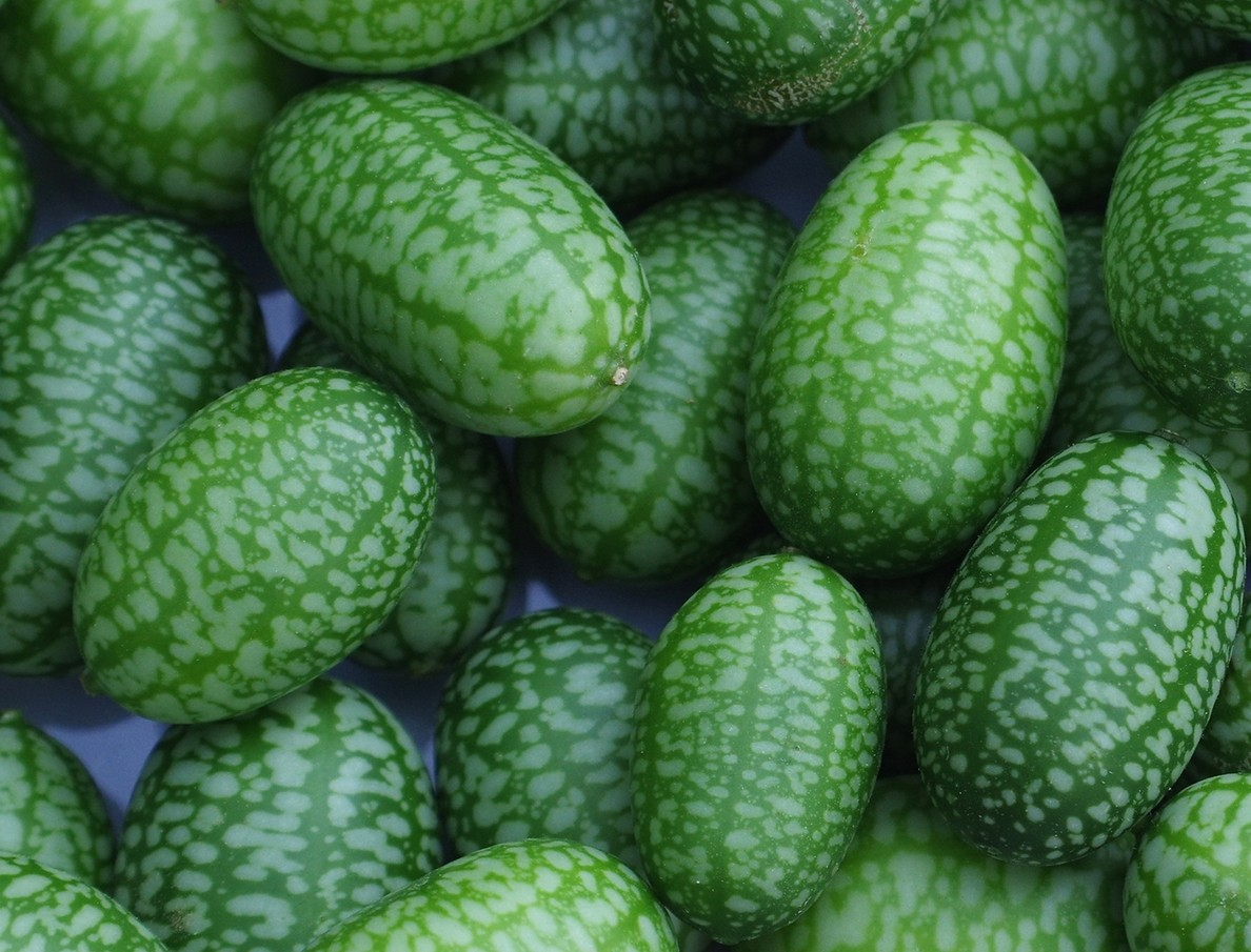 Concombre mexicain