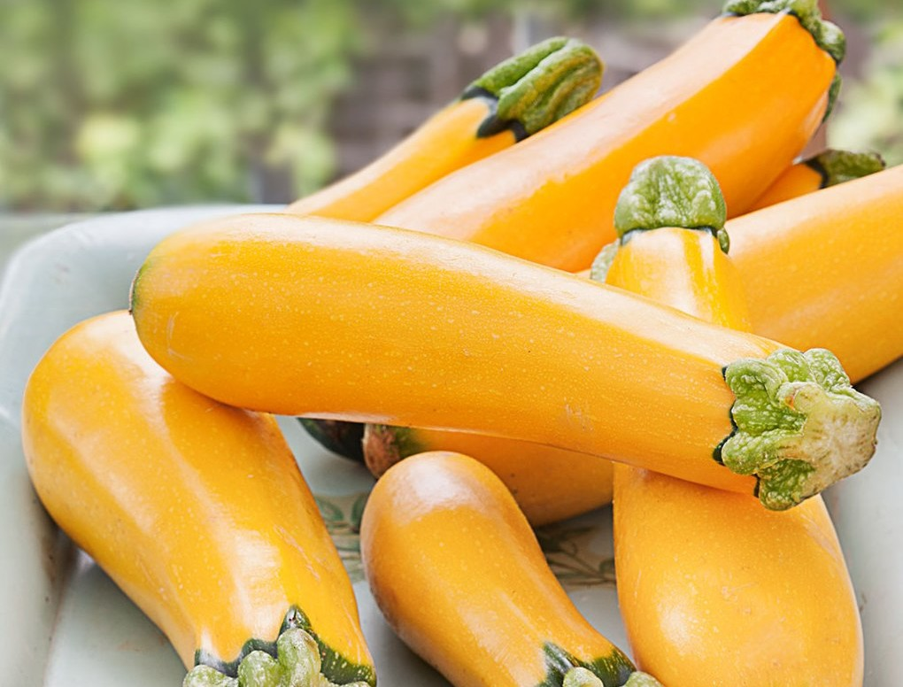 Courge Zucchini 'Easy Pick'