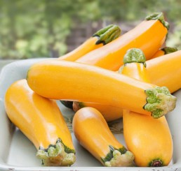 Courge Zucchini 'Easy Pick'