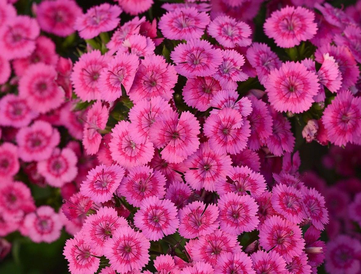 Dianthus 'Jolt Pink'
