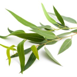 Eucalyptus citron