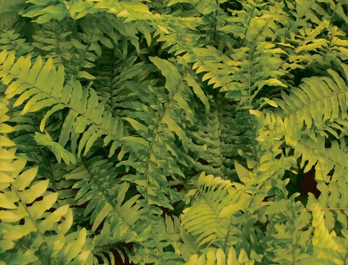 Fougère Tiger Fern