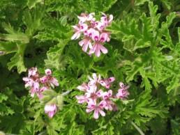 Geranium Citrosa