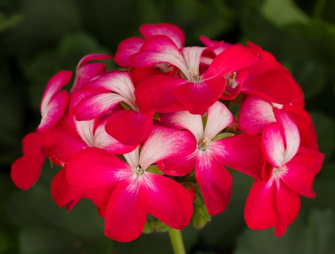 Geranium 'Tango Cherry bicolor'