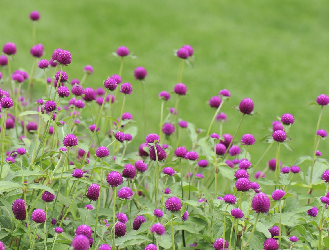Gomphrena 'Ping Pong Purple'