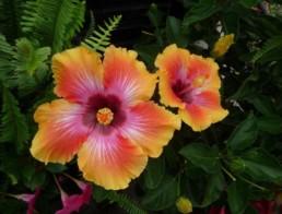Hibiscus 'Fiesta'