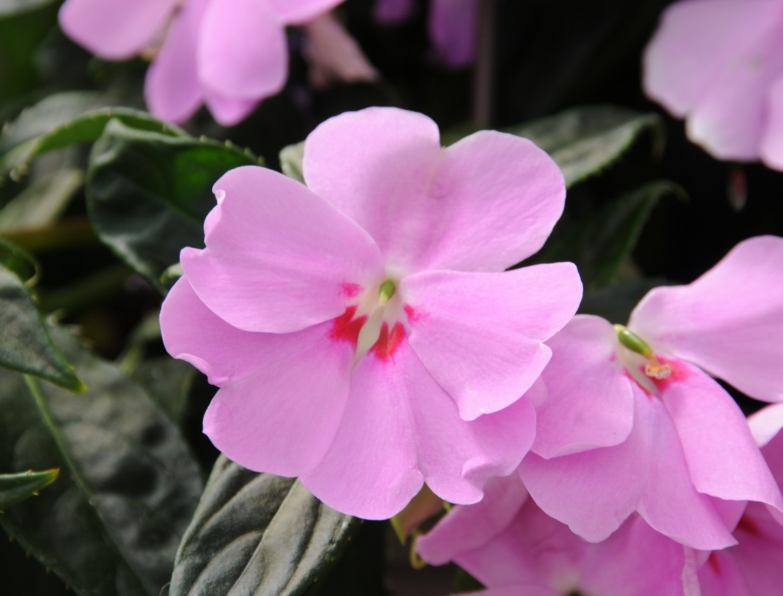 Impatiens série 'Big Bounce'