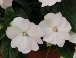 Impatiens série 'Florific'