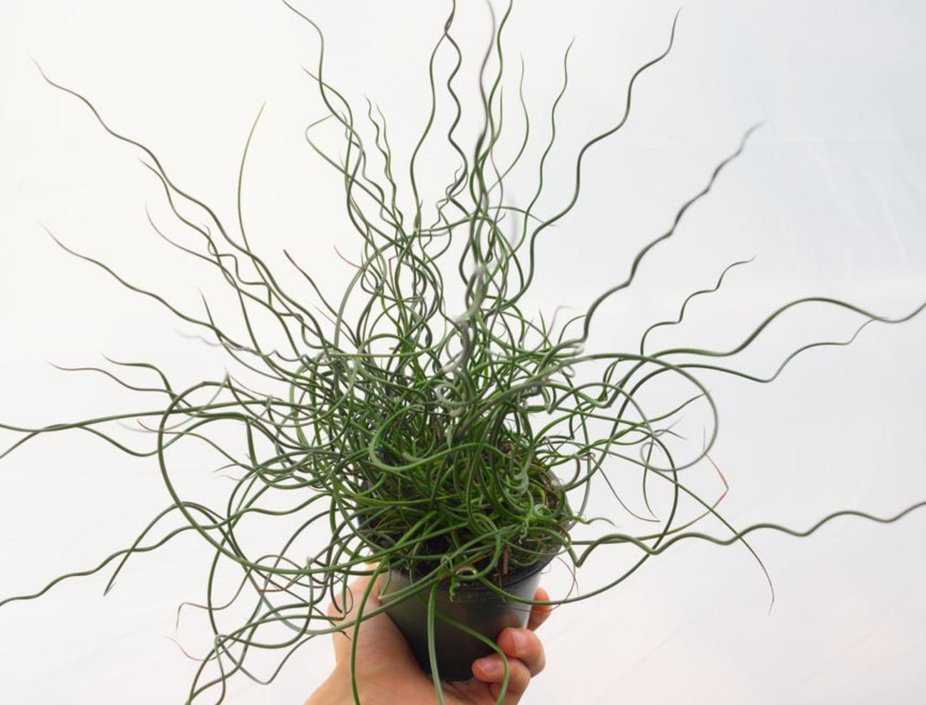 Juncus 'Twisted Arrow'