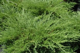 Juniperus horizontalis 'Plumosa Compacta'