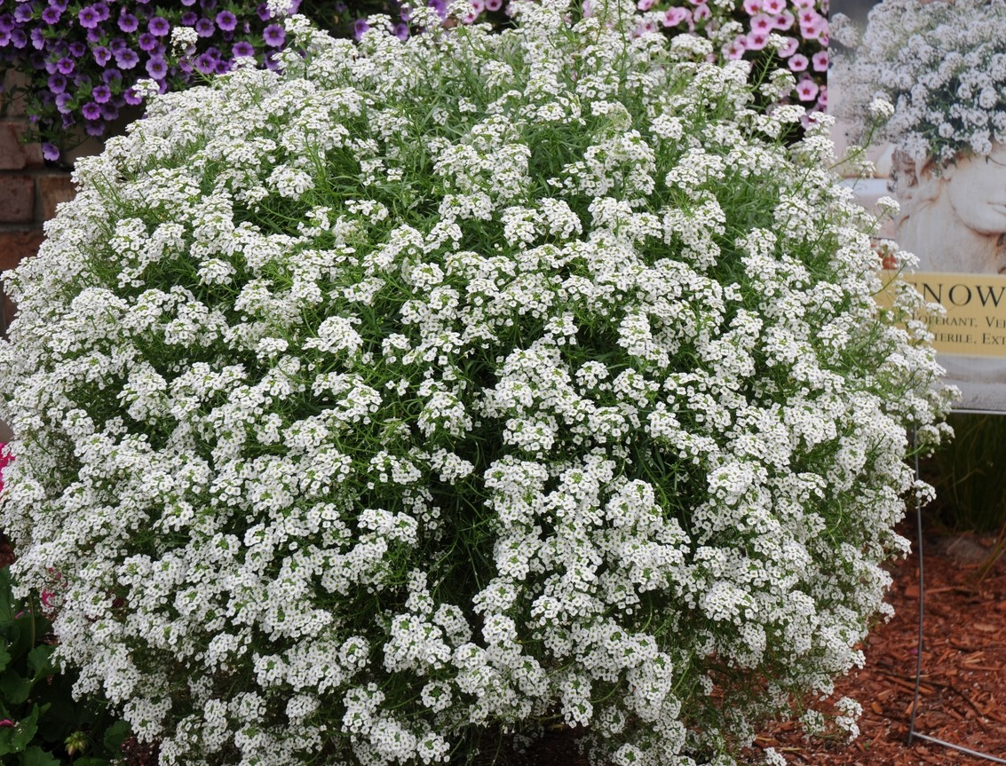 Lobularia 'Snow Princess ™'