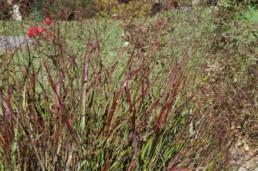 Panicum virgatum 'Shenandoah''