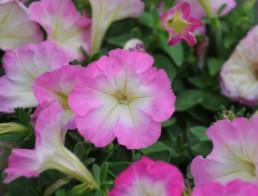 Petunia milliflora série 'Picobella'