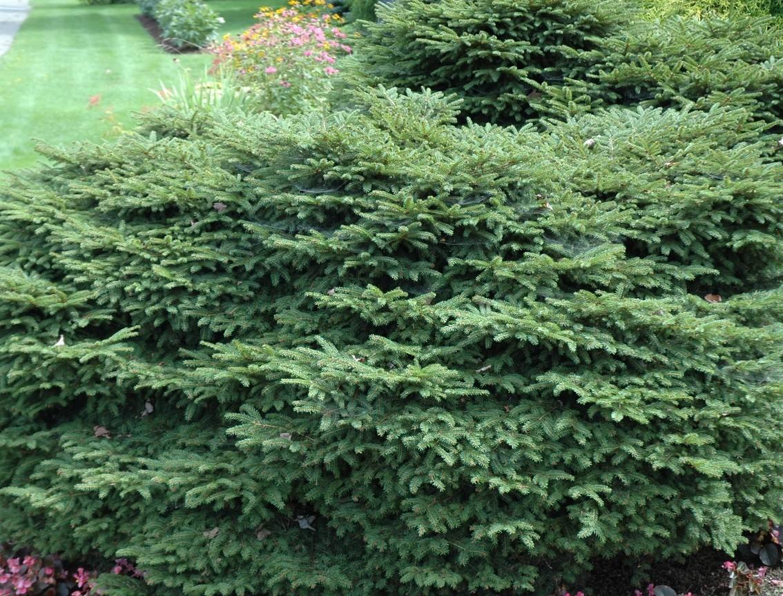 Picea abies 'Nidiformis'