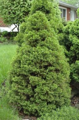 Picea glauca 'Albertiana Conica'