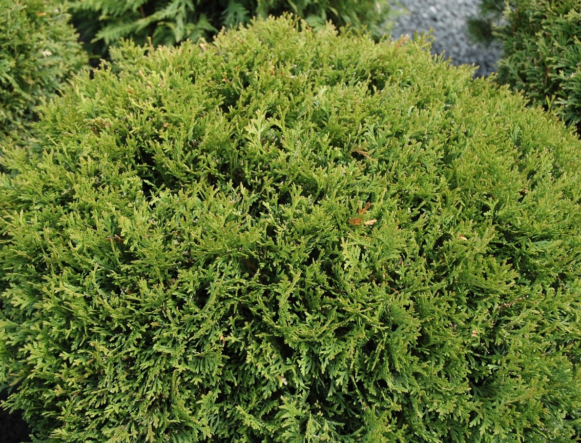 Thuja 'Little Giant'