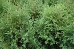 Thuja occidentalis 'Nigra'