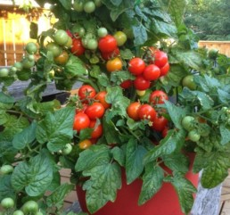 Tomate cerise 'Tiny Tim'
