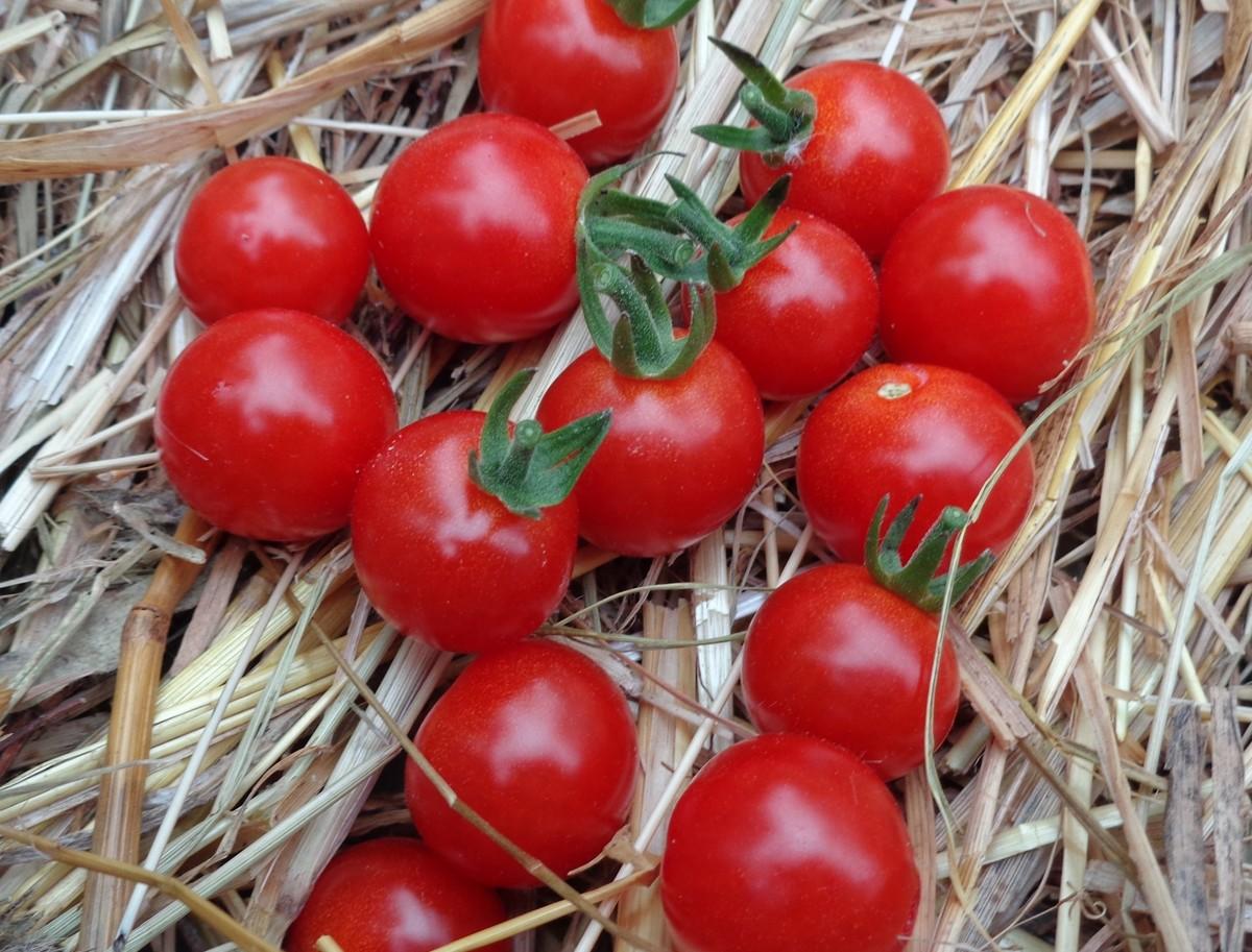 Tomate cerise 'Tutti-Frutti Cherry'