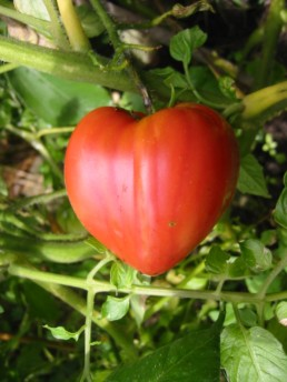 Tomate rose 'Coeur de Boeuf'