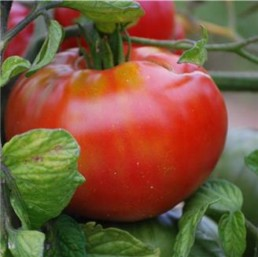 Tomate rouge 'Plourde'