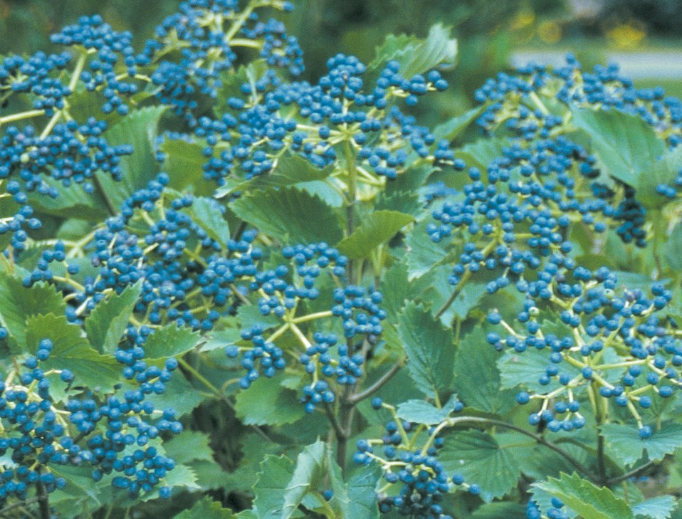 Viburnum dentatum 'Blue Muffin'
