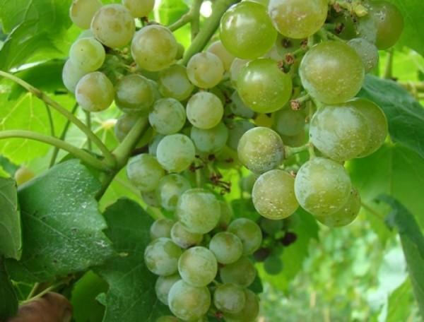 Vigne à raisins 'Prairie Star'