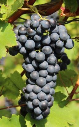 Vigne à raisins 'Trollhaugen'