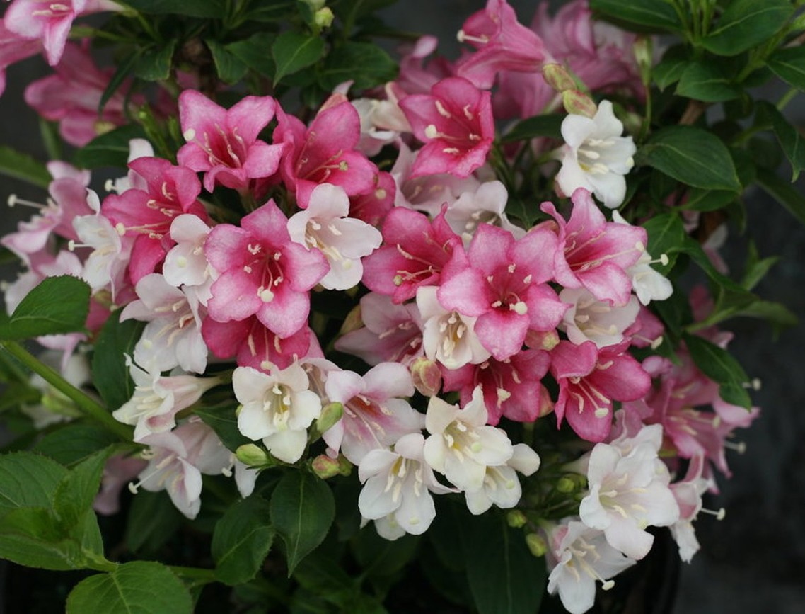 Weigela czechmark 'Trilogy'