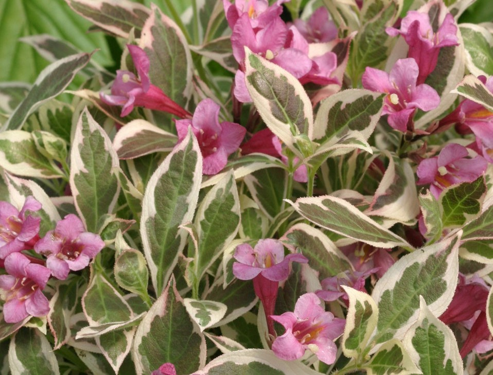 Weigela Florida 'My Monet'