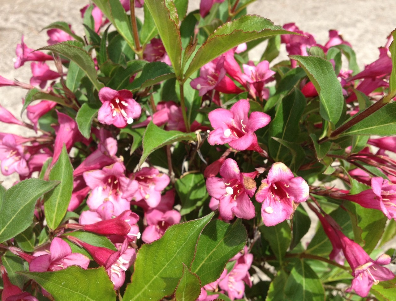 Weigela florida 'Rumba'